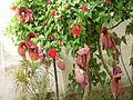 Aristolochia gigantea III.JPG