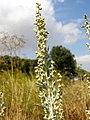 Artemisia absinthium. Absintiu, axenxu.jpg