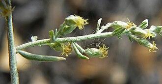 Artemisia ludoviciana - Artemisia ludoviciana subsp. albula Spring Mountains, southern Nevada, elev. ca. 1,050 m