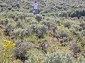 Artemisia tridentata wyomingensis (3746354658).jpg
