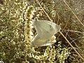 Artogeia mannii M 2.jpg