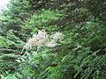Aruncus dioicus (2483664033).jpg