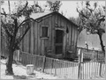 Arvin, Kern County, California. One in a community of shacks in subdivided orchard rented to agricul . . . - NARA - 521660.tif