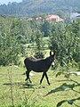 Ase asturi (1431999416).jpg