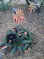 Asparagales - Aloe greatheadii - kew 1.jpg