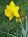 Asparagales - Narcissus pseudonarcissus - 2.jpg