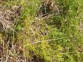 Asparagus aethiopicus 'Sprengeri' L. (AM AK309217-1).jpg