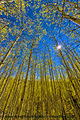 Aspens and sun star (10199314684).jpg