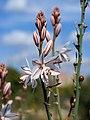 Asphodelus fistulosus (flowers).jpg