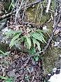 Asplenium trichomanes (Aspleniaceae).jpg