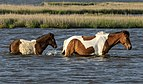 Assateague pony and foal MD1.jpg
