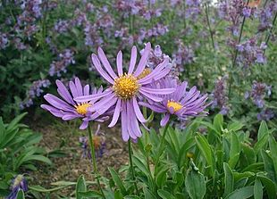 Alpe-Asters i fuld blomstring.
