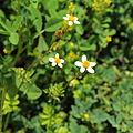 Asteraceae sp.-IMG 6918.JPG
