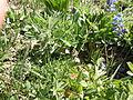 Astragalus alpinus (6120960480).jpg