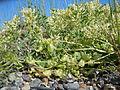 Astragalus lentiginosus salinus (5123680285).jpg