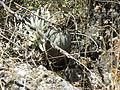 Astrophytum myriostigma (5723025233).jpg