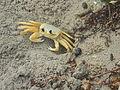 Atlantic ghost crab, Cuba - Laslovarga (2).JPG