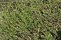 Atlas roslin pl Brzoza karłowata 6554 6469.jpg
