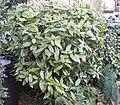 Aucuba Japonica 'Variëgata' bush.jpg