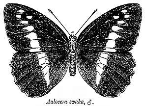 Aulocera swaha, Männchen