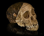 Australopithecus africanus - Cast of taung child.jpg