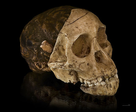 Cast of the skull of the Taung child, uncovered in South Africa. The Child was an infant of the Australopithecus africanus species, an early form of hominin Australopithecus africanus - Cast of taung child.jpg