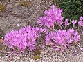 Autumn crocus - geograph.org.uk - 554463.jpg