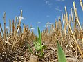 Awesome Cover Crops started in Eastern South Dakota (15127399982).jpg