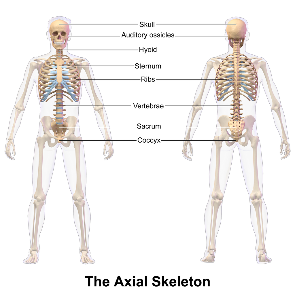 File:Axial_Skeleton on Human Body Systems Free Worksheets