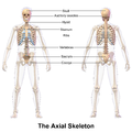 120px Axial_Skeleton axial skeleton wikipedia