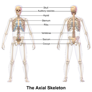 Axial skeleton - Image: Axial Skeleton