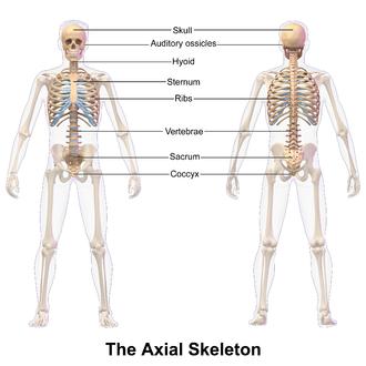Axial skeleton - Image: Axial Skeleton