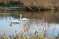 Axmouth, swans at Lower Bruckland - geograph.org.uk - 294354.jpg