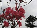 Azaleas on Mount Guifengshan in Macheng City, Huanggang, Hubei 2.jpeg