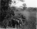 Bärare bär packning genom grässlätt i tonskog. Makubrva. Kongo-Kinshasa - SMVK - 0713.0093.tif