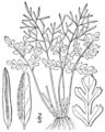 BB-0074 Cryptogramma acrostichoides.png