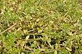 Bacopa monnieri - Agri-Horticultural Society of India - Alipore - Kolkata 2013-01-05 2267.JPG