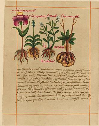 Libellus de Medicinalibus Indorum Herbis - Image: Badianus