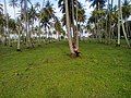 Bagamoyo coconuts trees.jpg