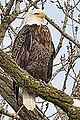 Bald Eagle (8442614781).jpg