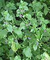 Ballota nigra 2005.06.19 10.13.06-p6190007.jpg