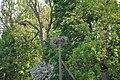 Baltā stārķa ligzda Nr.1131, Lībagu pagasts, Talsu novads, Latvia - panoramio.jpg