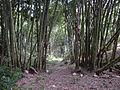 Bamboo grove - Flores.jpg
