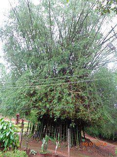 <i>Bambusa bambos</i> species of plant