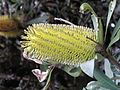 Banksia integrifolia latebud AuklandBG orig.JPG
