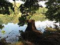 Barbora (rybník), pařez.jpg