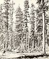 Bark beetle risk in mature ponderosa pine forests in western Montana (1972) (20327174006).jpg