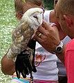 Barn owl arp.jpg