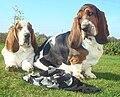Bassets hound.jpg