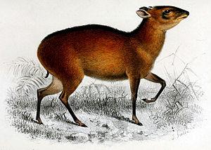 Bay duiker - 1869 illustration by Joseph Smit